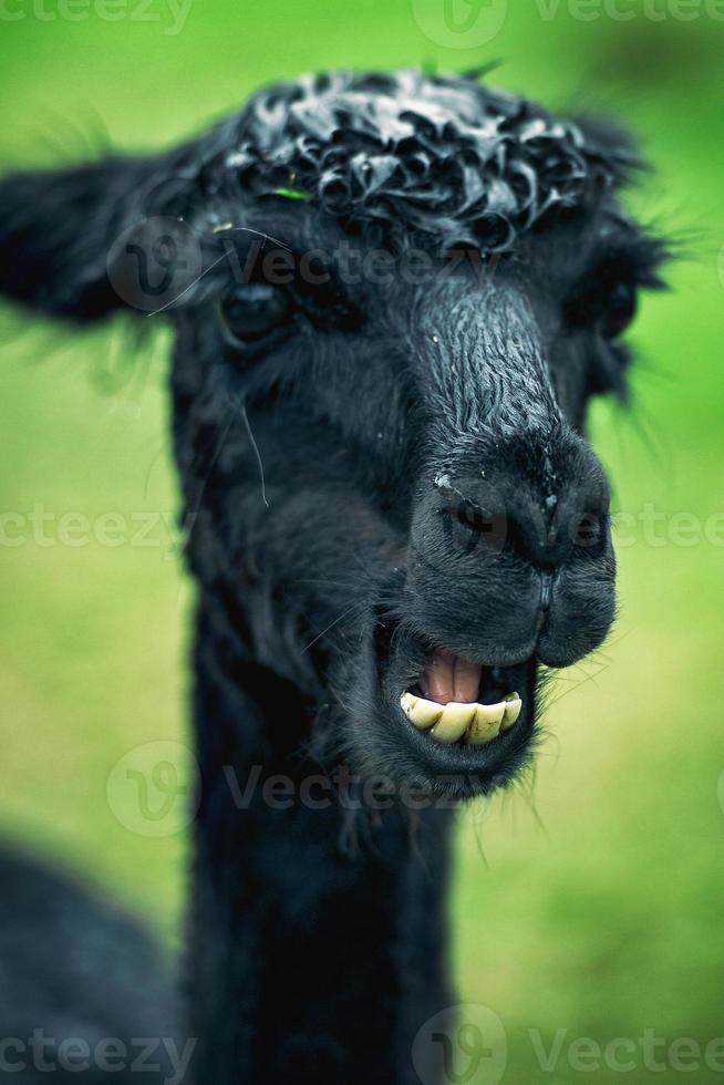 alpaca da sola in un campo foto
