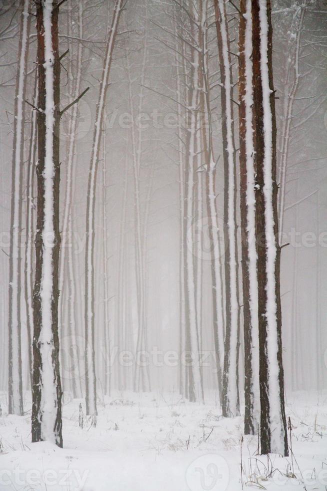 foresta di conifere invernale. foto