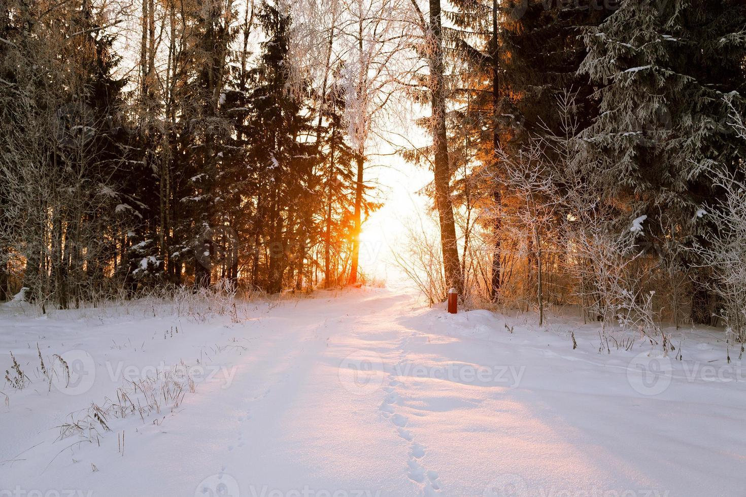 alberi in inverno foto