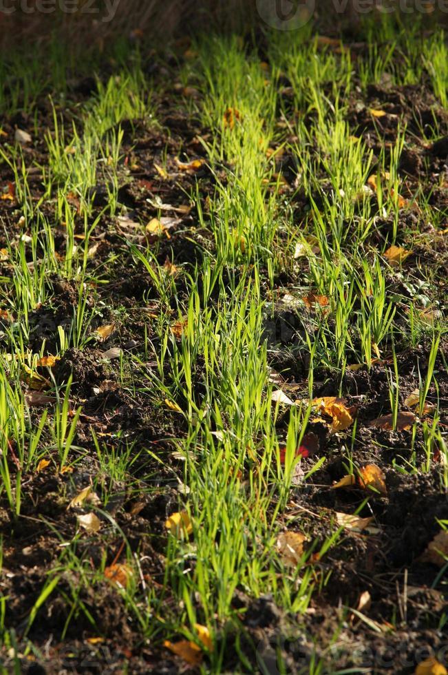 erba della terra foto