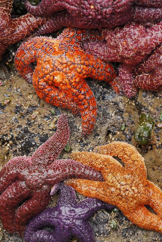 stelle marine di marea foto