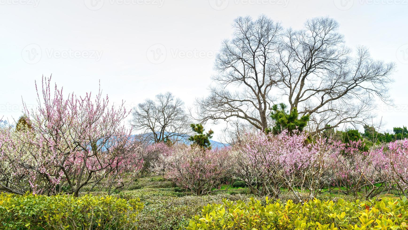 fiore di prugna all'inizio della primavera foto