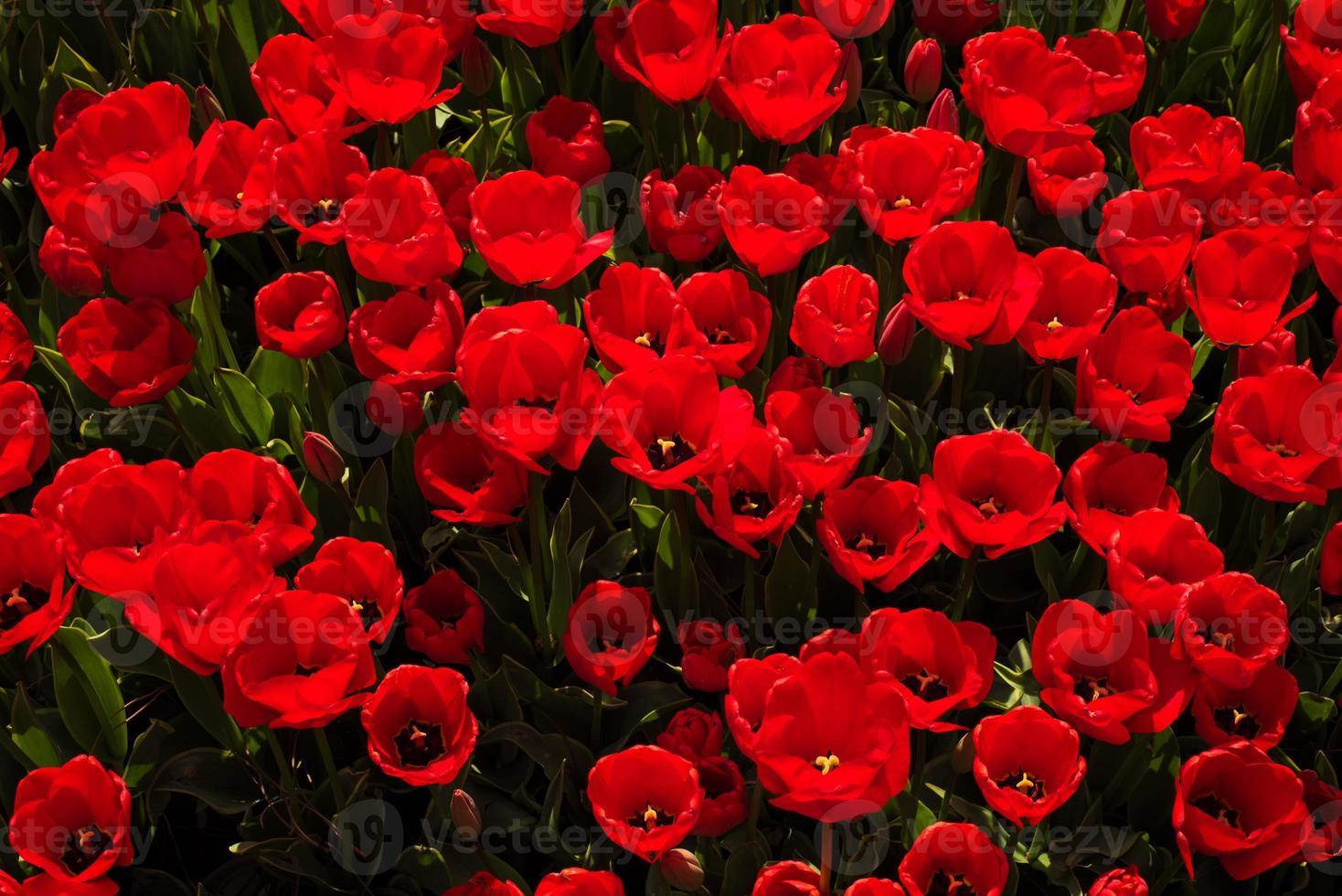 vista dall'alto di molti tulipani rossi foto