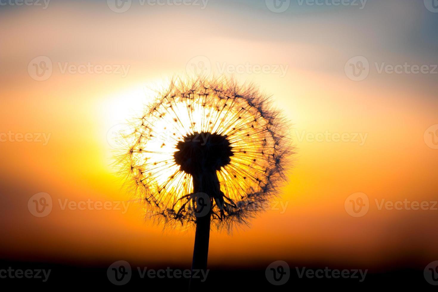 fiore di tarassaco con tramonto foto