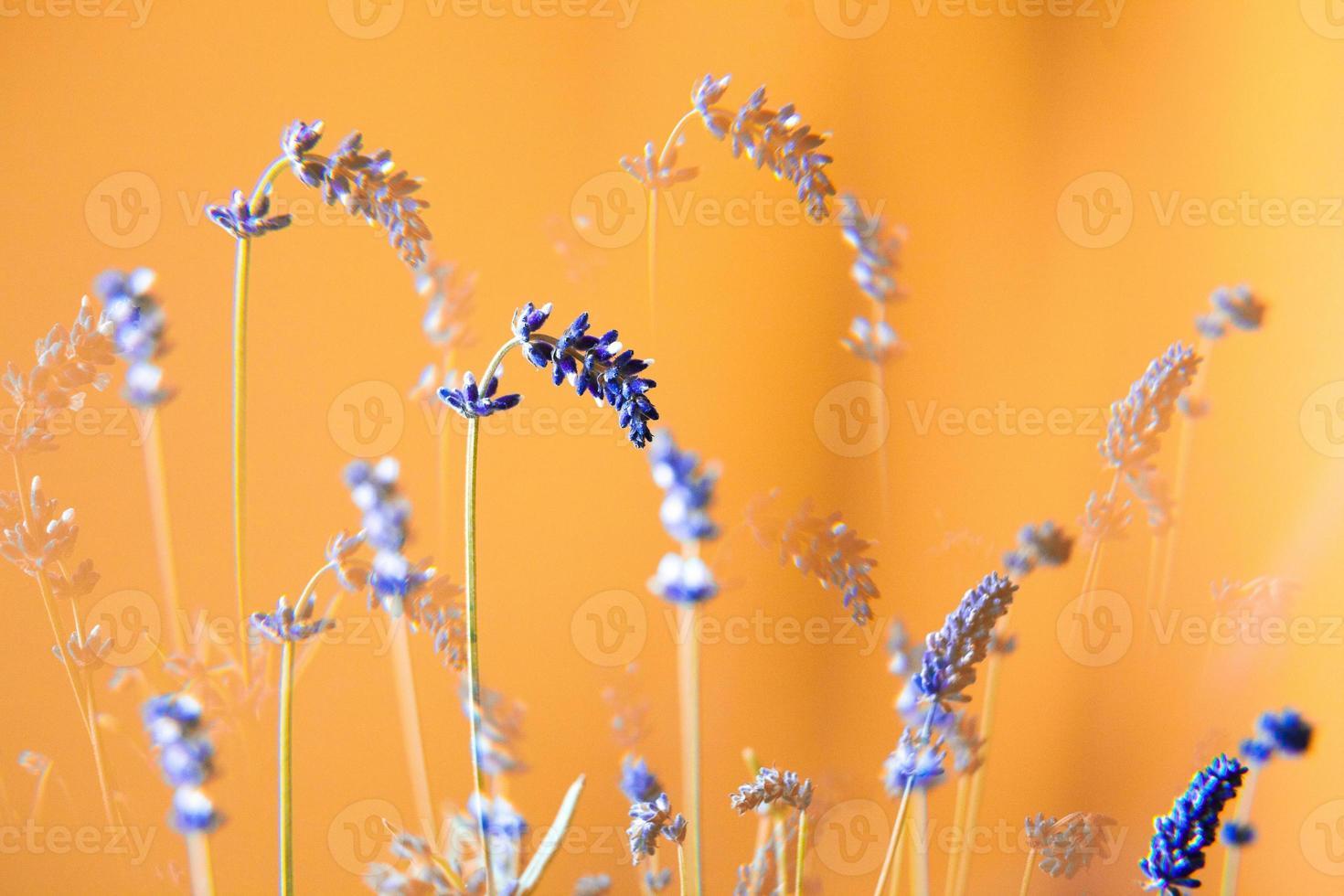 fiori di lavanda foto
