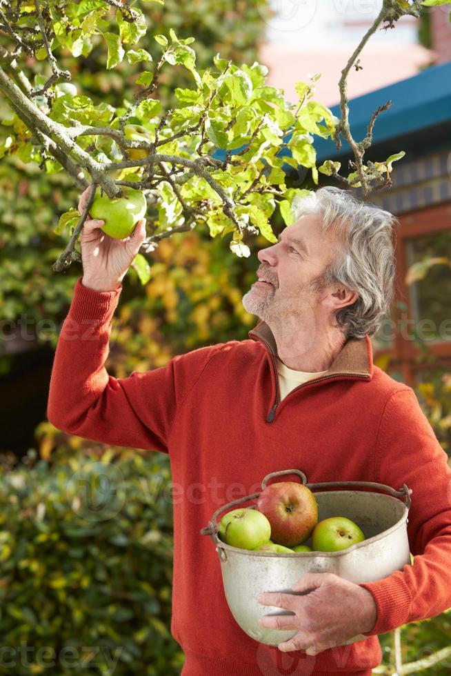 uomo maturo raccolta mele dall'albero in giardino foto