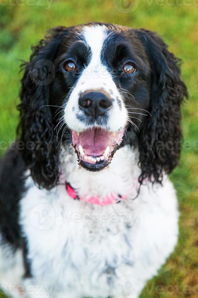 felice inglese springer spaniel cane fuori closeup foto
