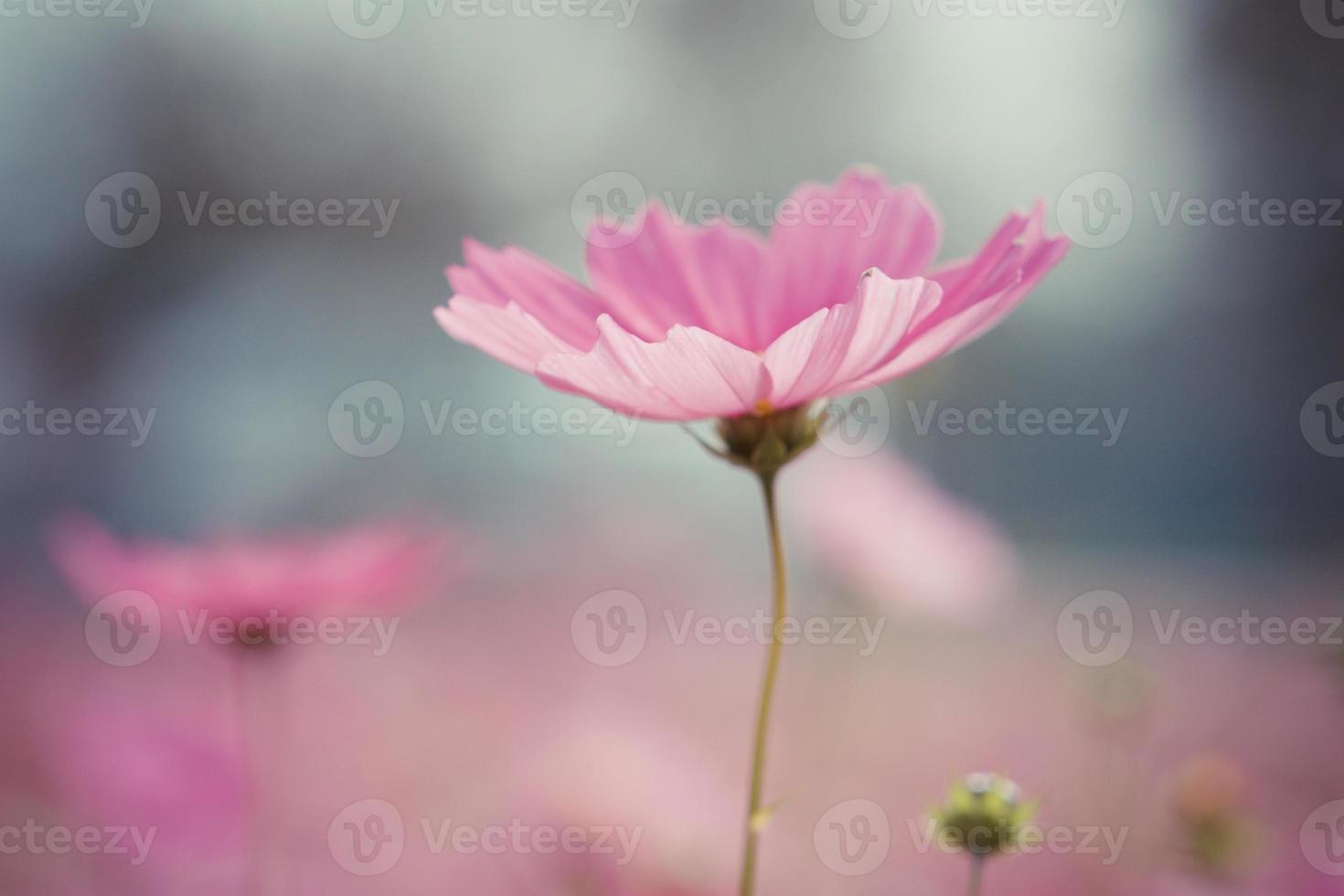 fiori cosmo vintage foto