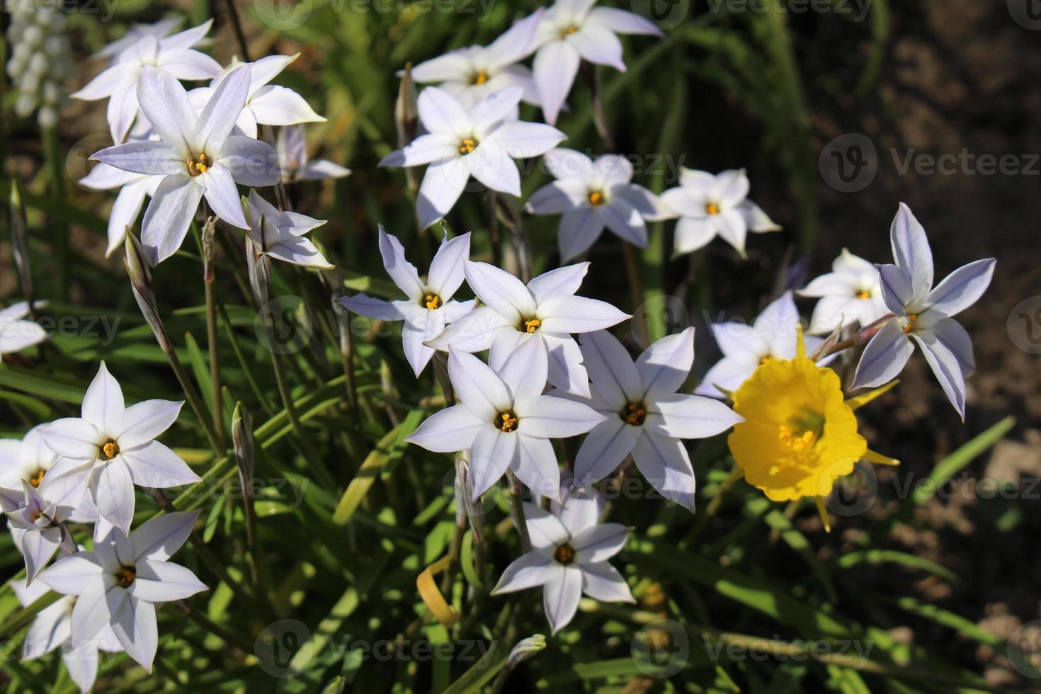 starflowers a molla (ipheion uniflorum) foto