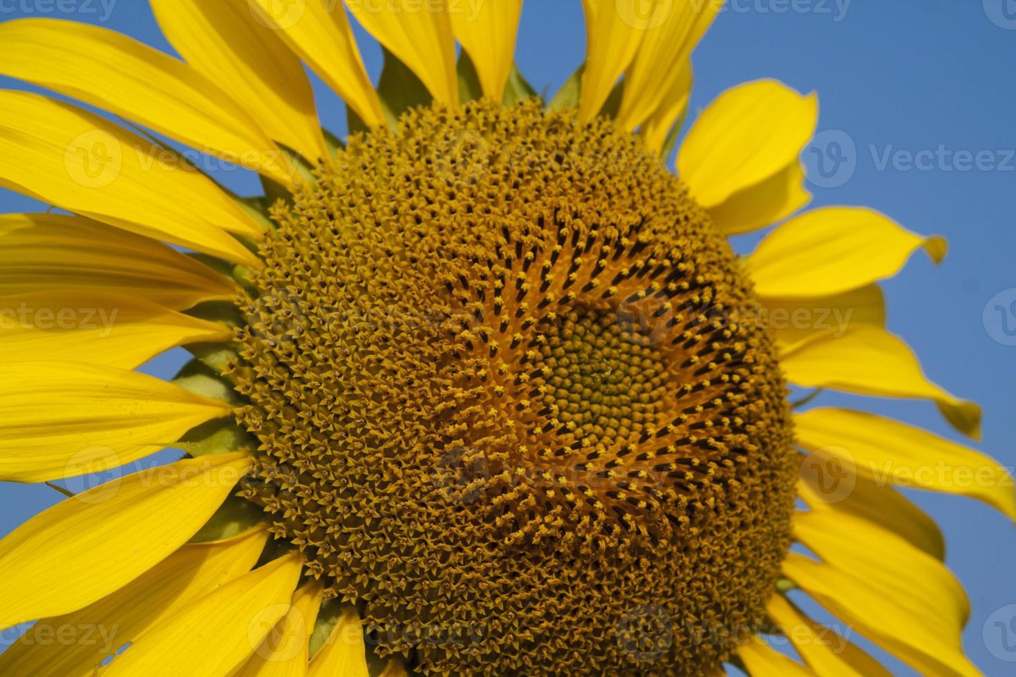 girasole giallo vicino foto