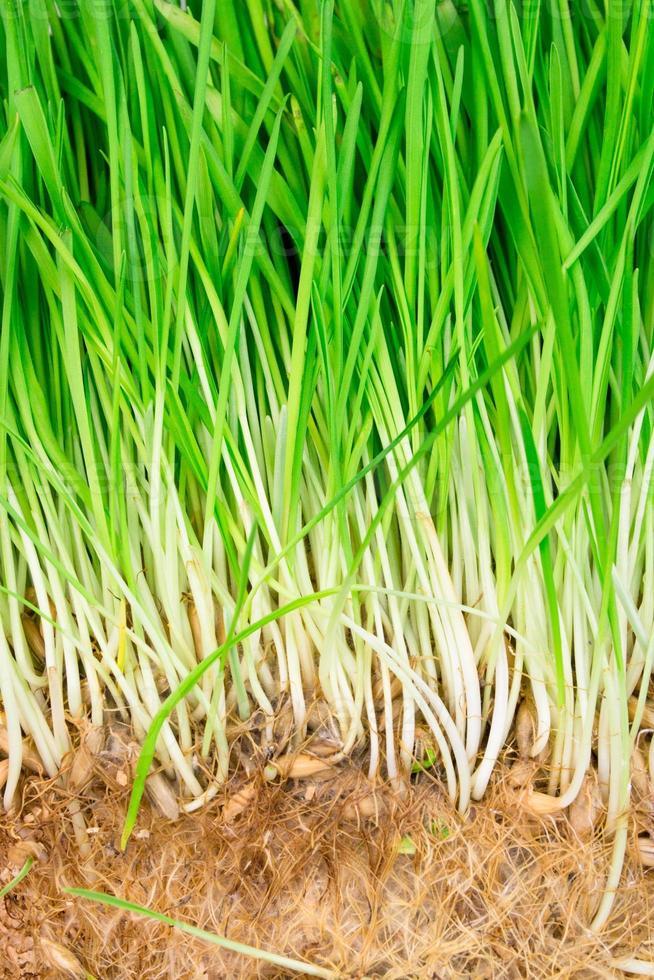 erba di grano da vicino foto