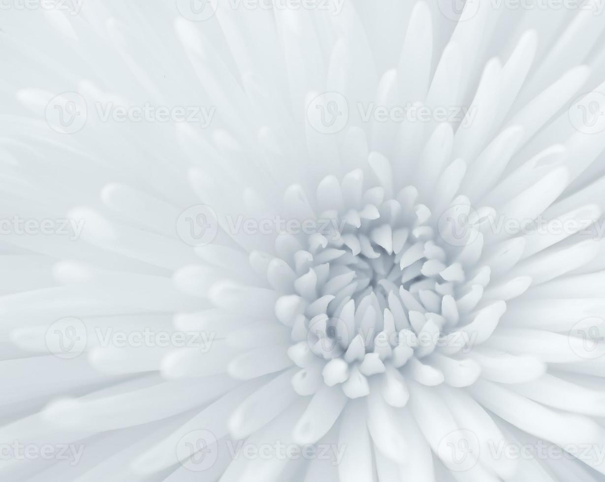 primo piano del crisantemo foto