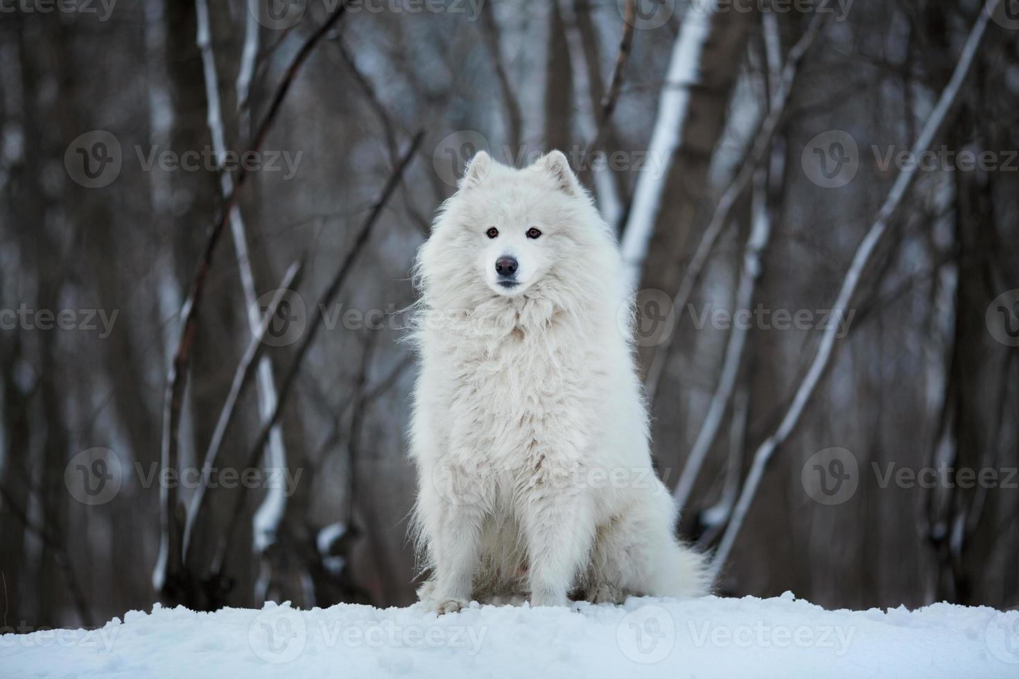 grande cane seduto sulla neve foto