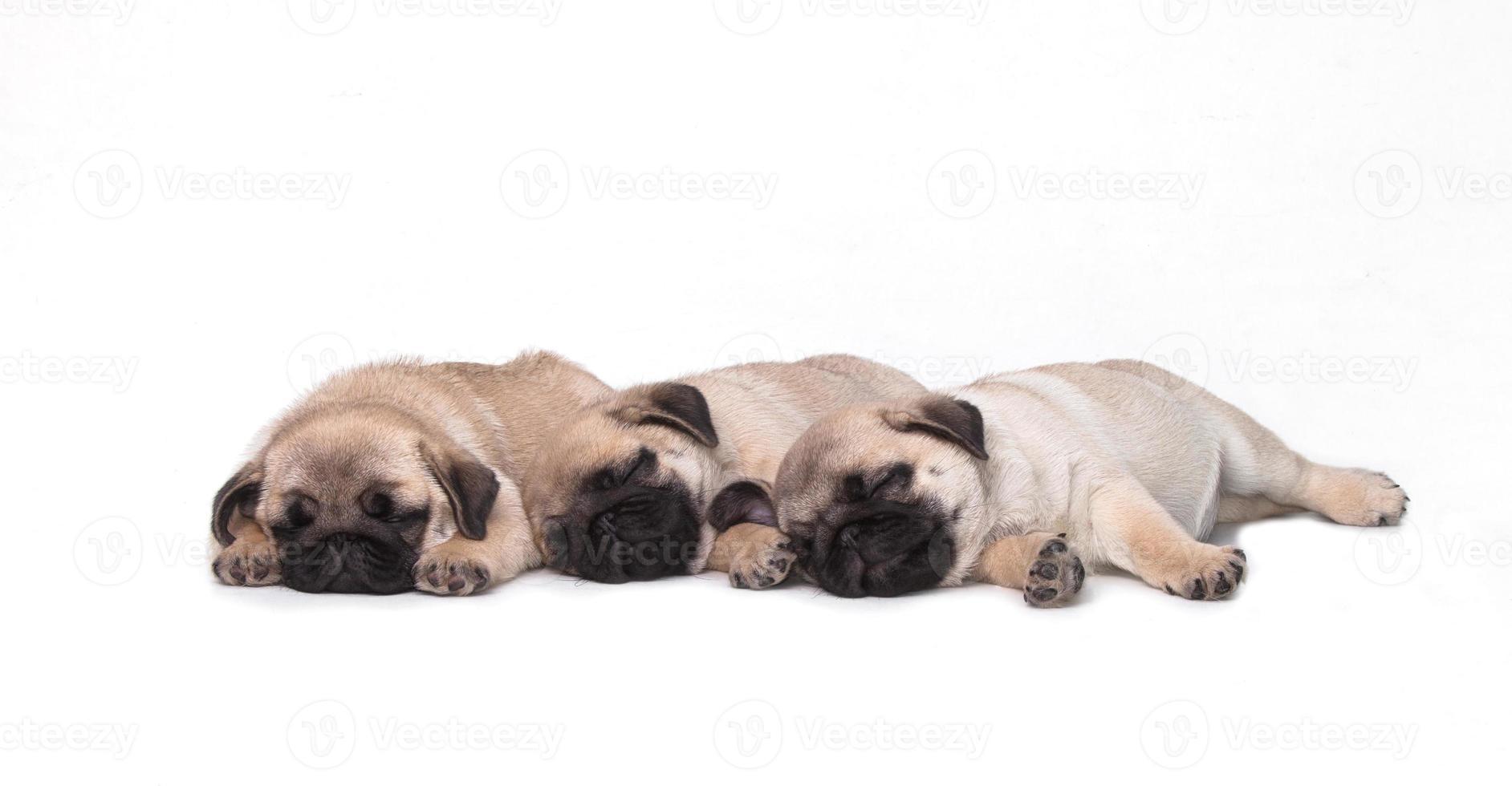 cucciolo di tre carlino su sfondo bianco foto