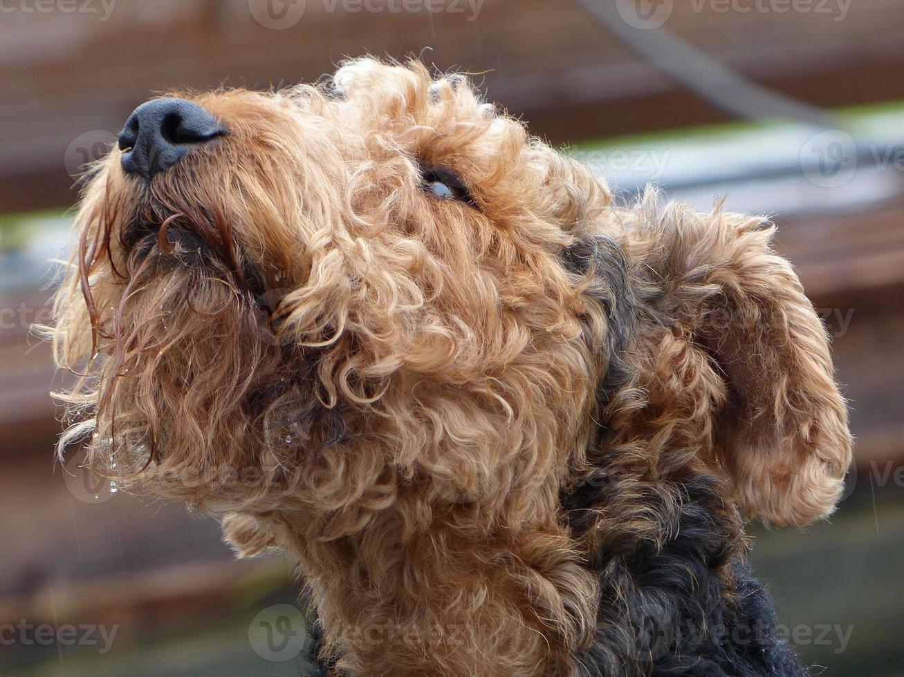 il nostro airedale terrier - ritratto foto