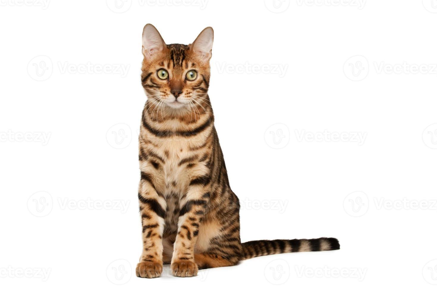 gatto del Bengala foto