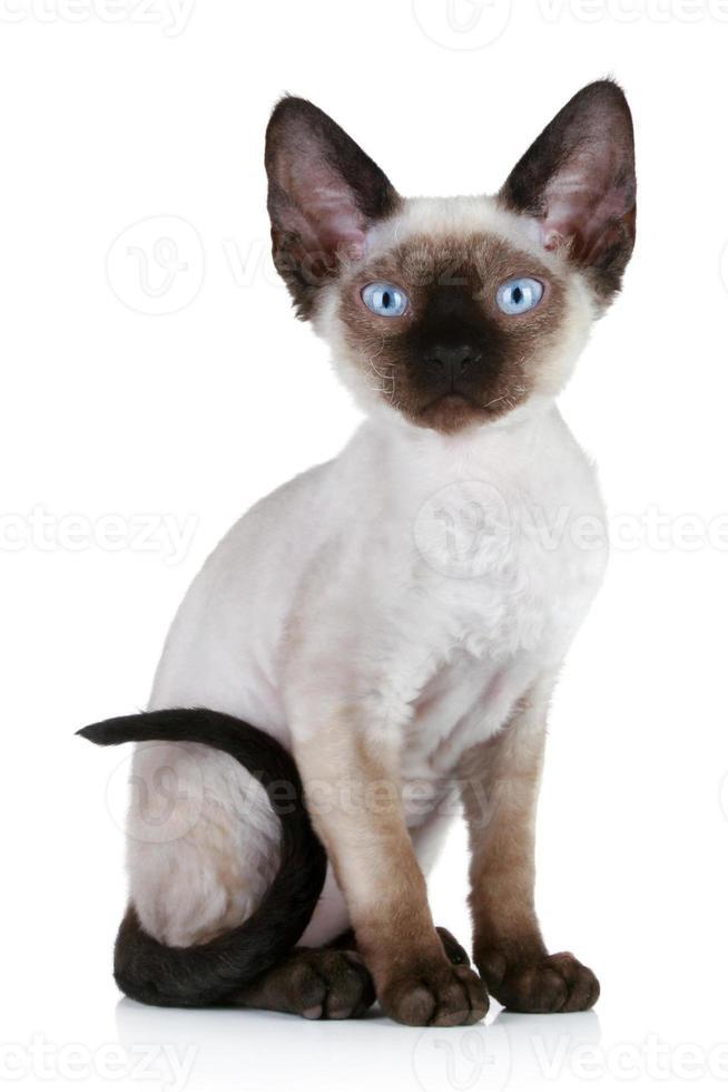 Ritratto del primo piano del gatto di Devon Rex foto
