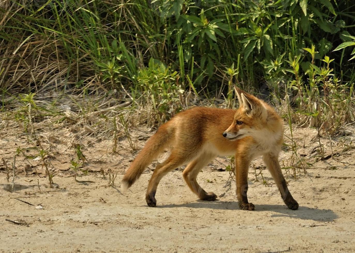 cucciolo di volpe rossa foto