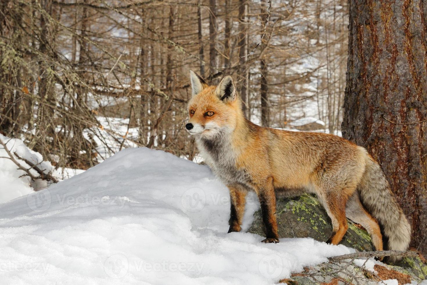volpe rossa in habitat alpino innevato foto