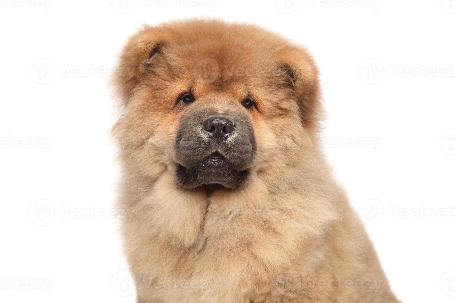 Ritratto di cucciolo di chow-chow foto