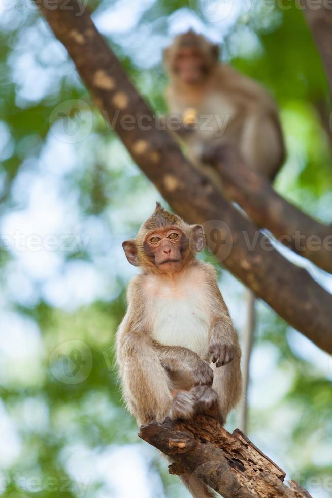 scimmie foto
