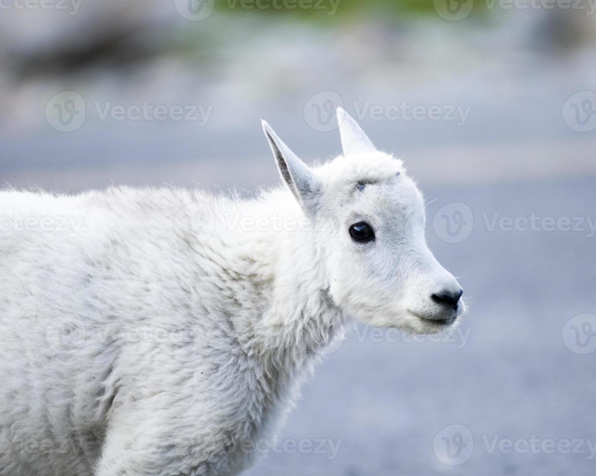 giovane capra di montagna foto