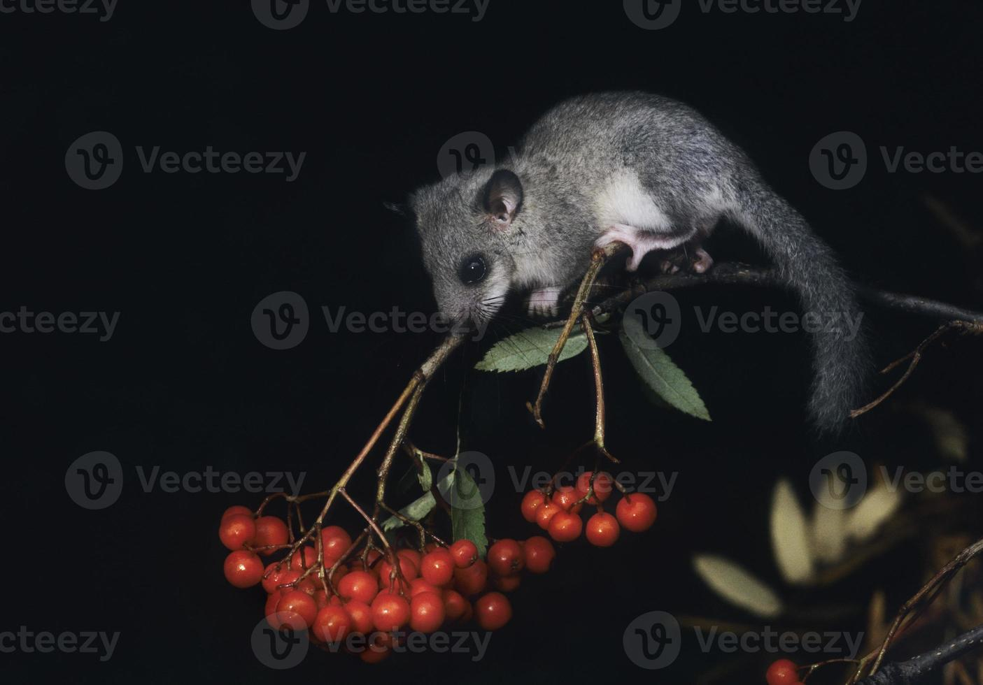 scoiattolo pigmeo africano che foraggia le bacche foto