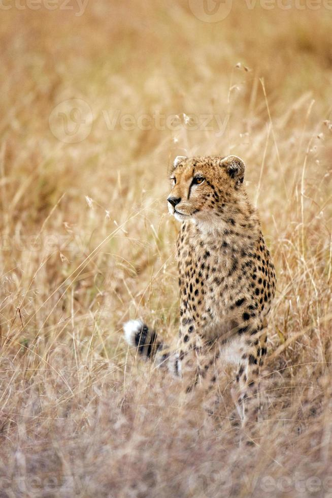 ghepardo foto