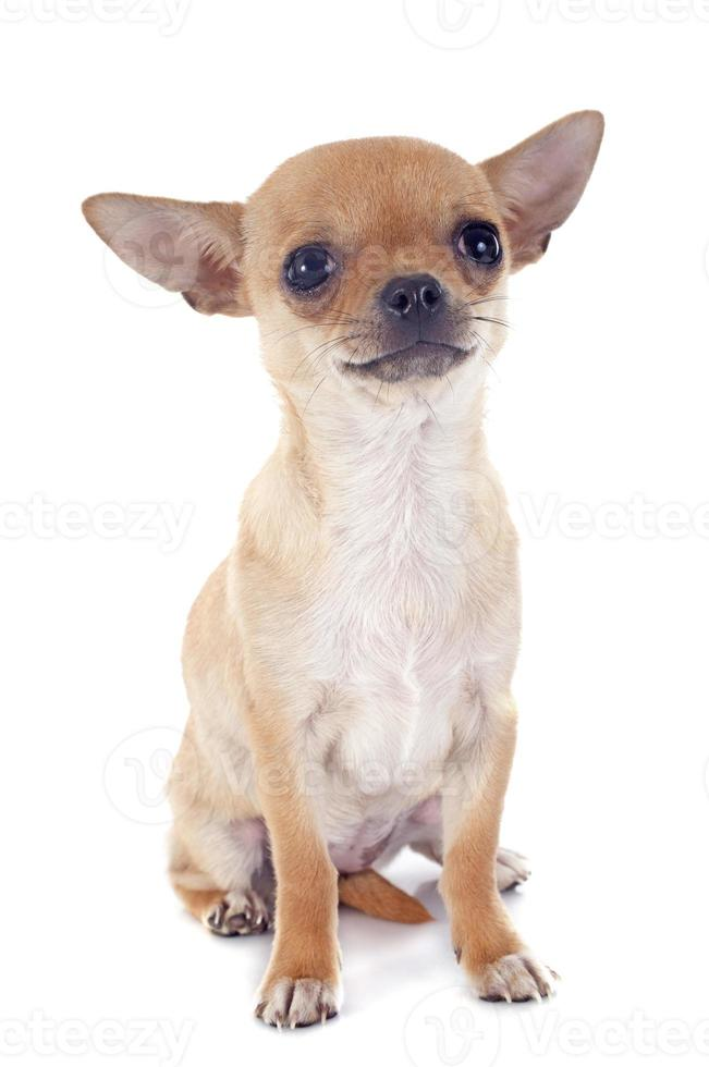 chihuahua cucciolo foto