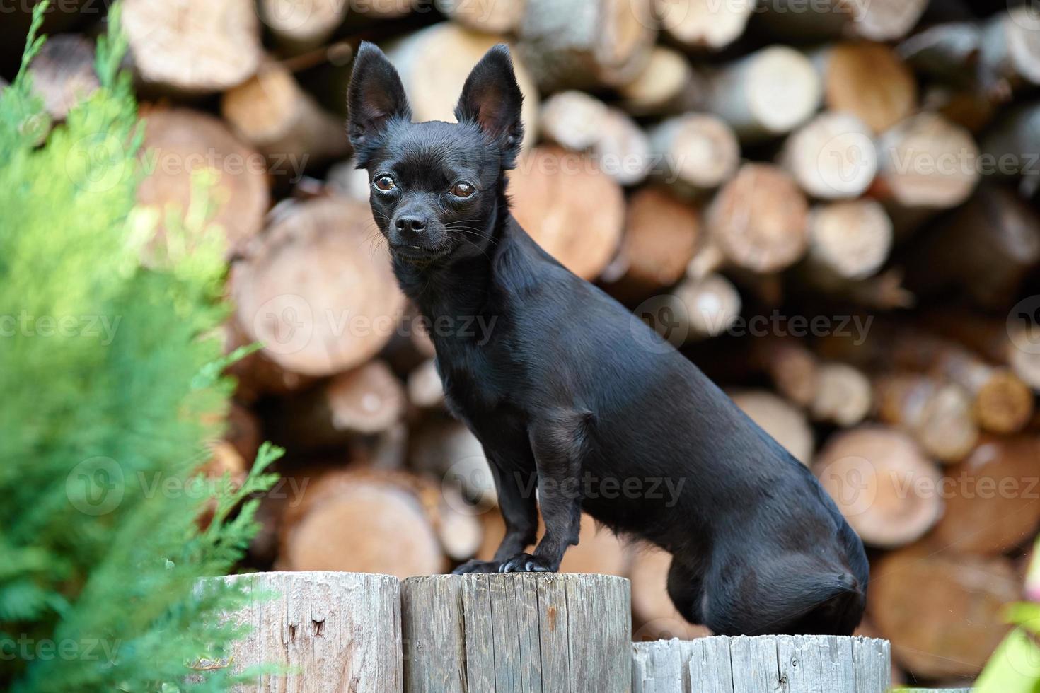 Ritratto di cane chihuahua nero foto