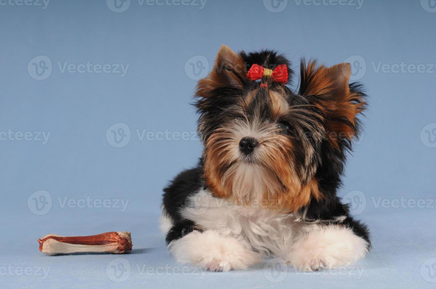 simpatico cucciolo con osso grosso foto