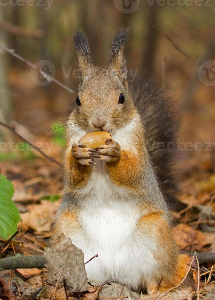 scoiattolo con una ghianda foto