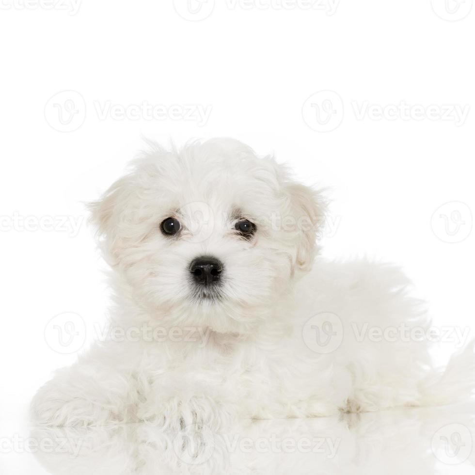 cucciolo di cane maltese foto