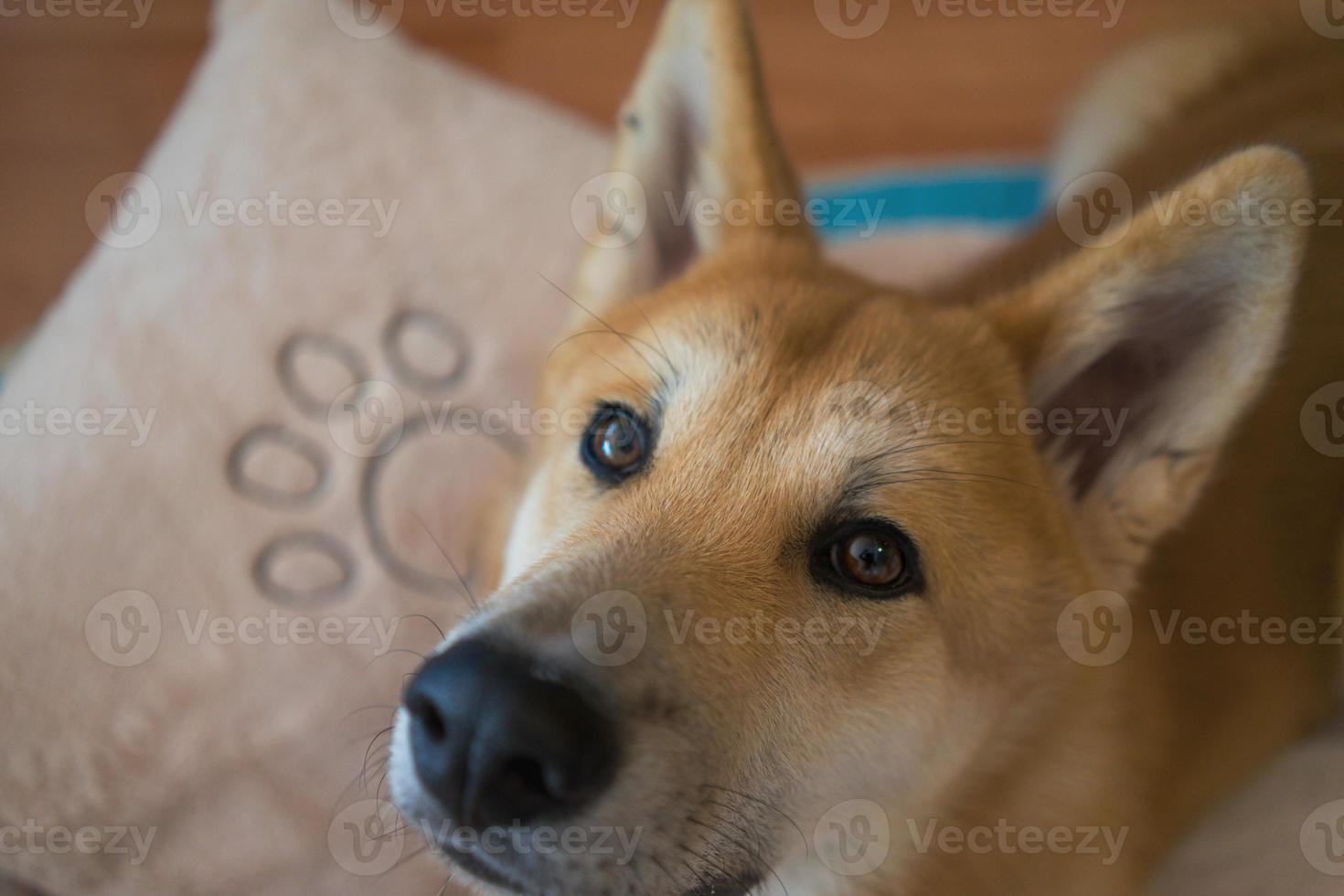 shiba inu guardando la telecamera foto