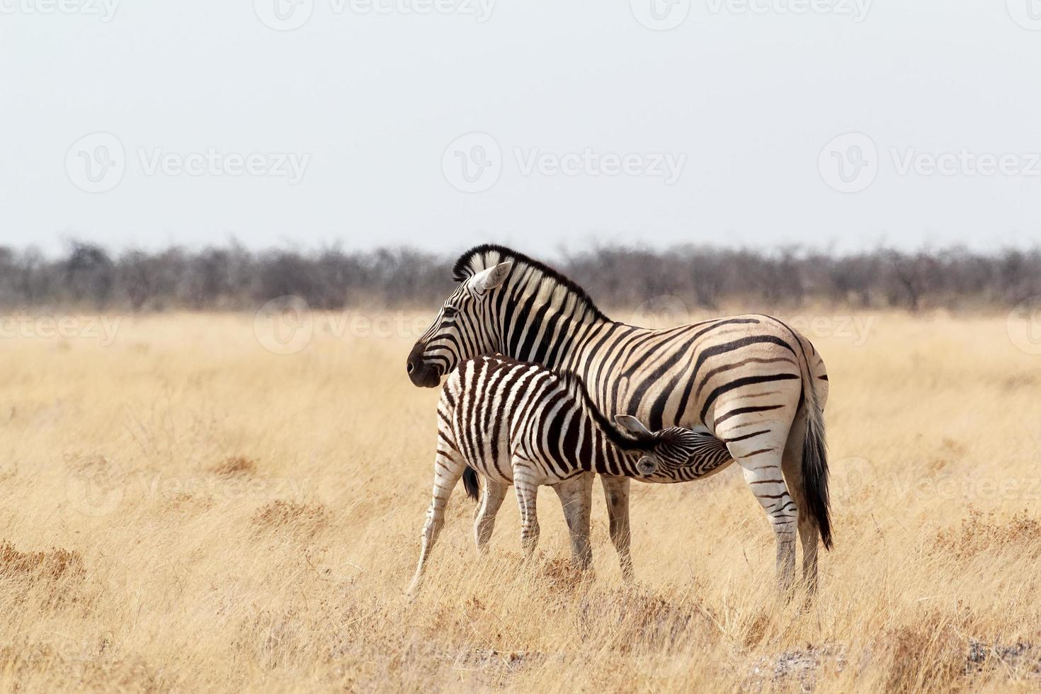 puledro di zebra con madre nel bush africano foto