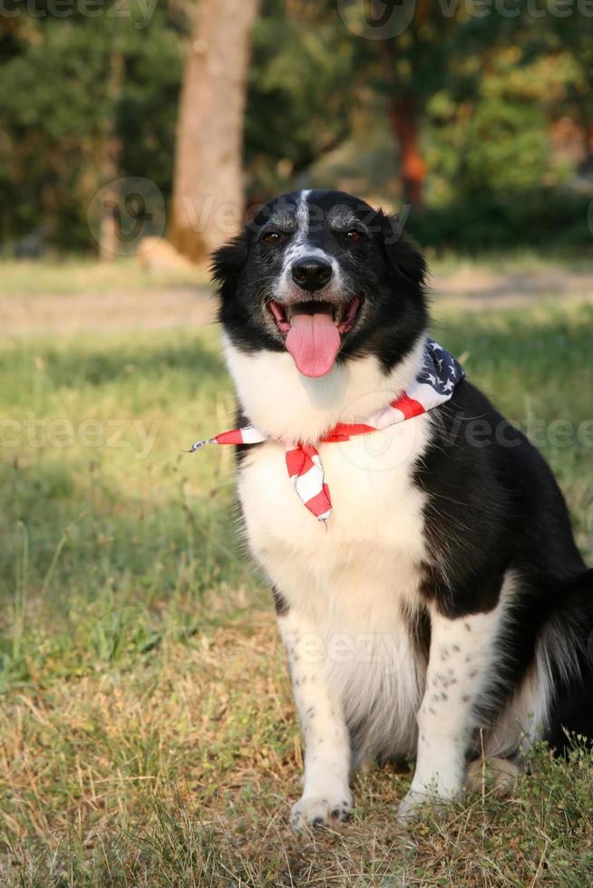cane border collie con bandana bandiera usa foto
