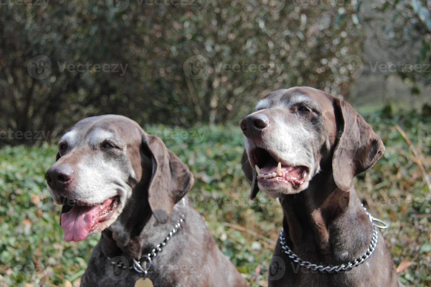 sorelle senior del puntatore, puntatori tedeschi dai capelli corti foto