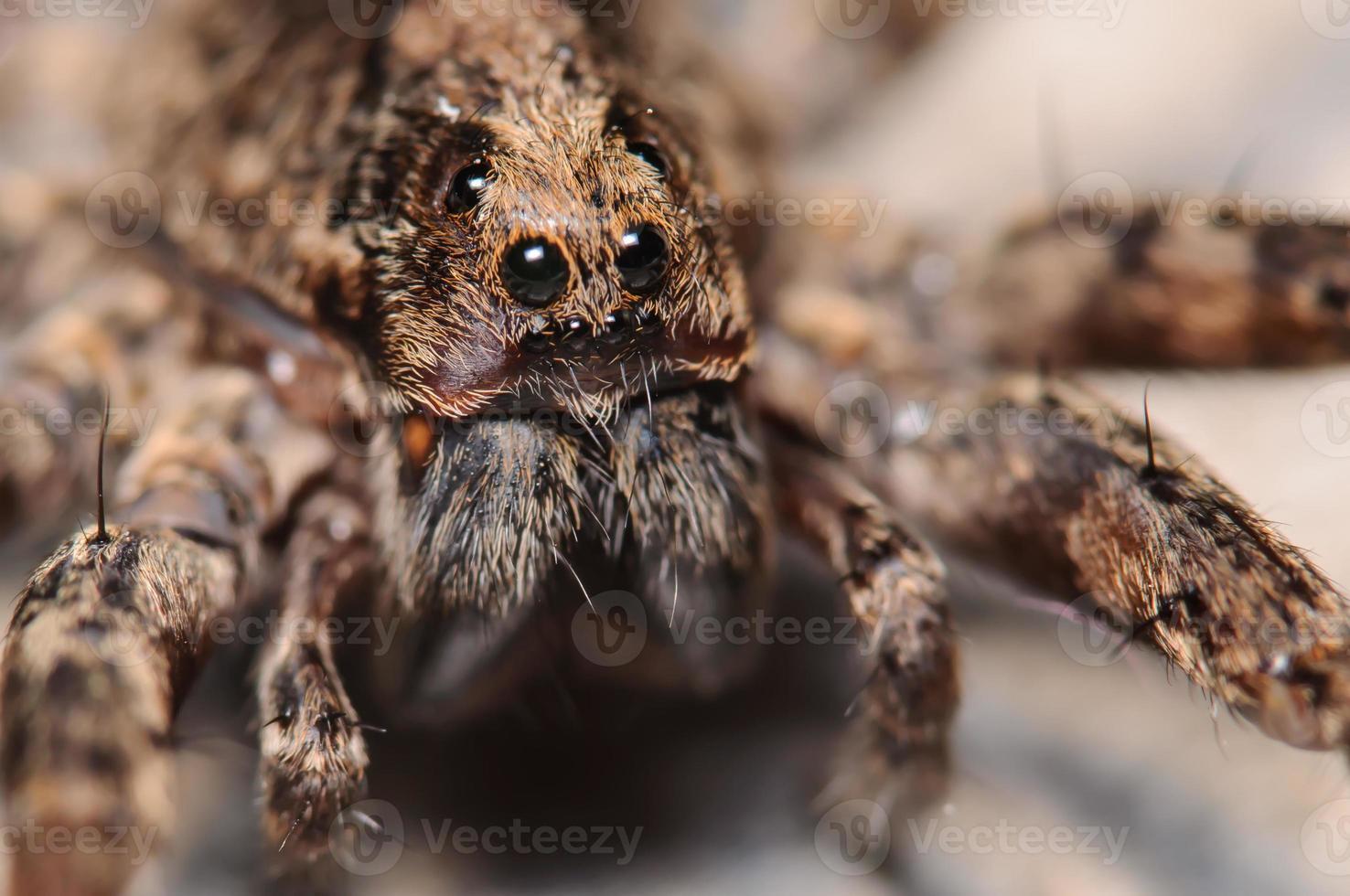 Ritratto di ragno lupo foto