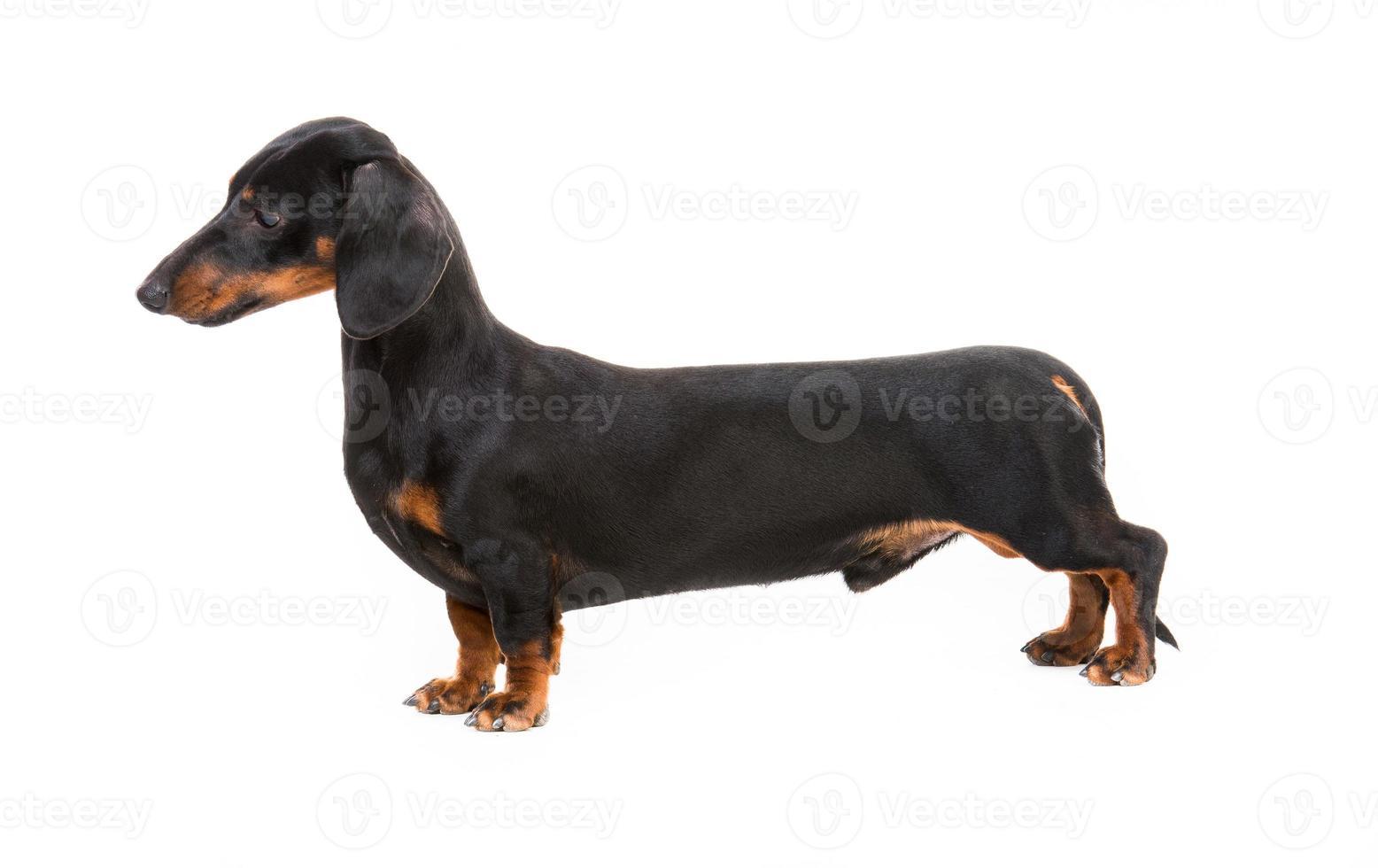 bassotto di razza di cane foto