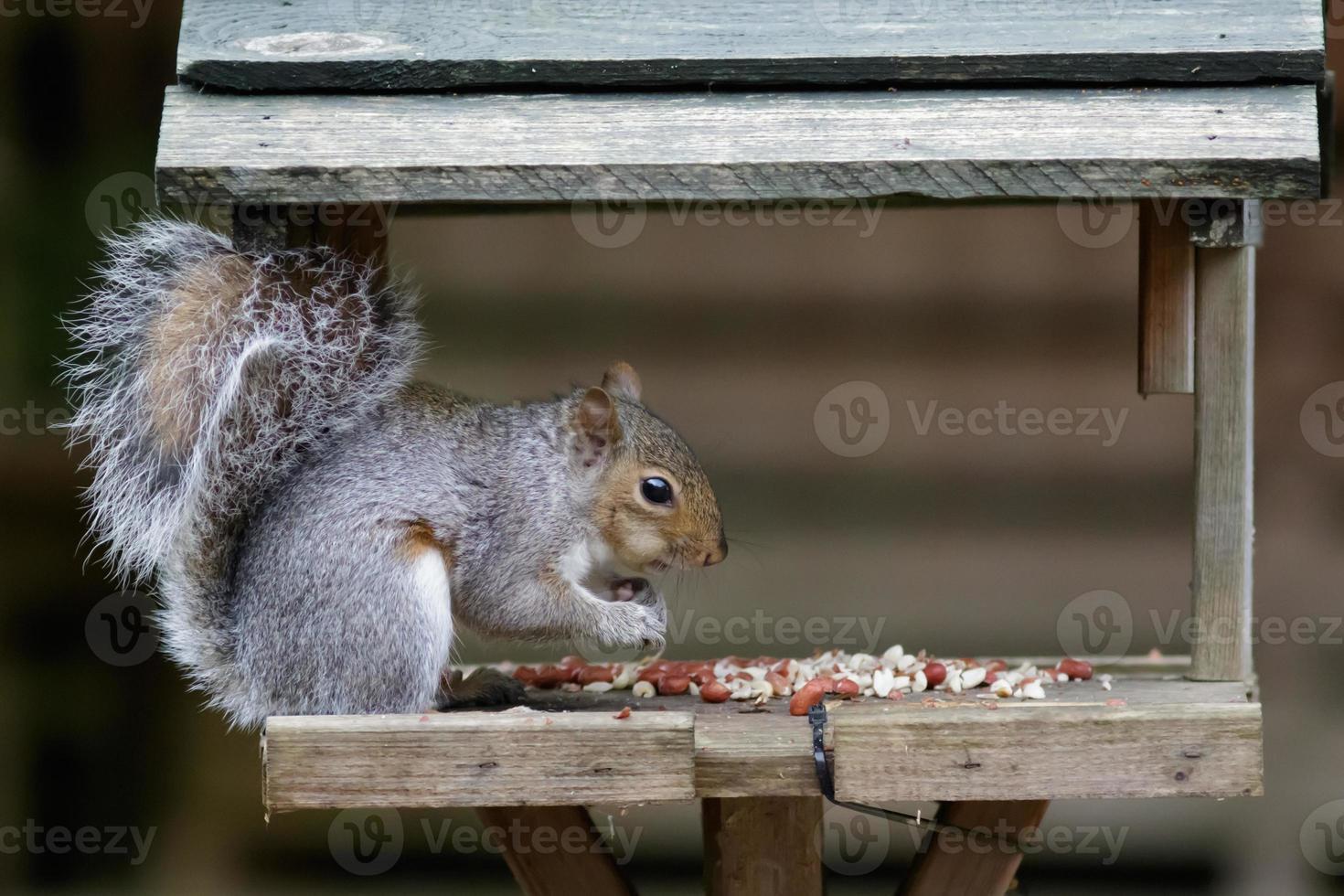 scoiattolo grigio foto