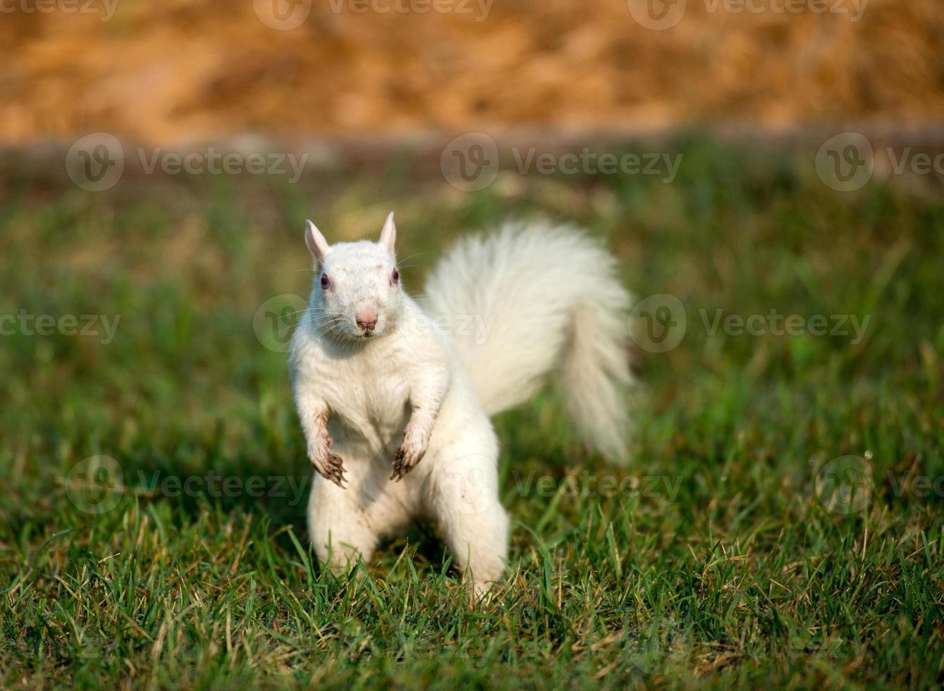 scoiattolo bianco nell'erba foto