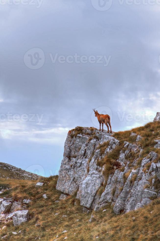 camoscio sulla cima di una roccia foto