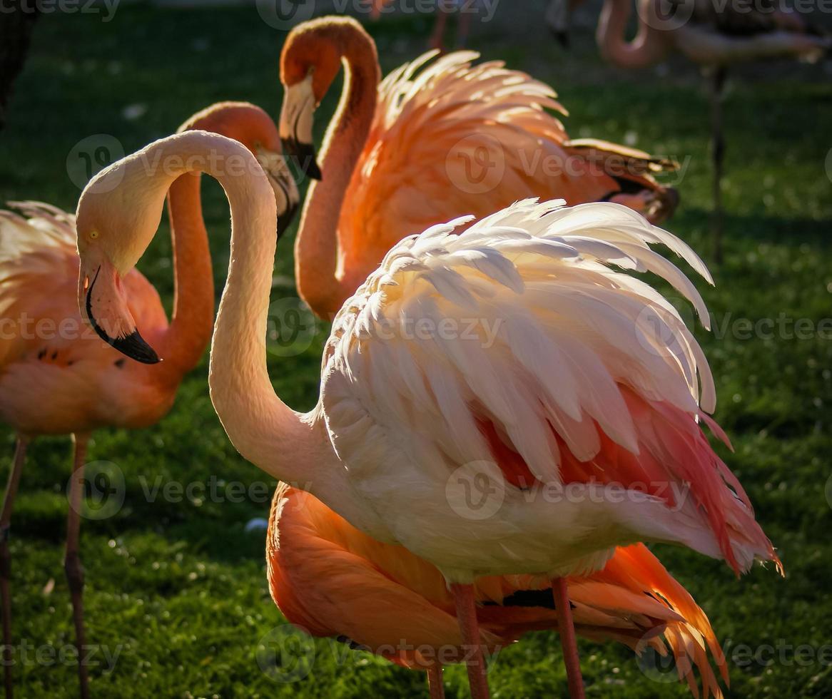 fenicottero rosa brillante su sfondo verde foto