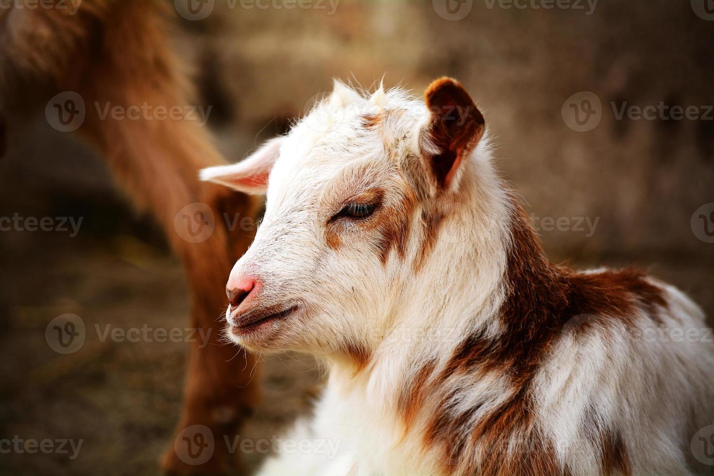 simpatica capra kinder marrone e bianca in una fattoria foto