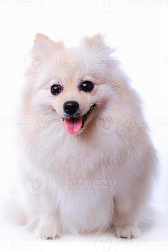 cucciolo di cane bianco pomeranian, simpatico animale domestico foto