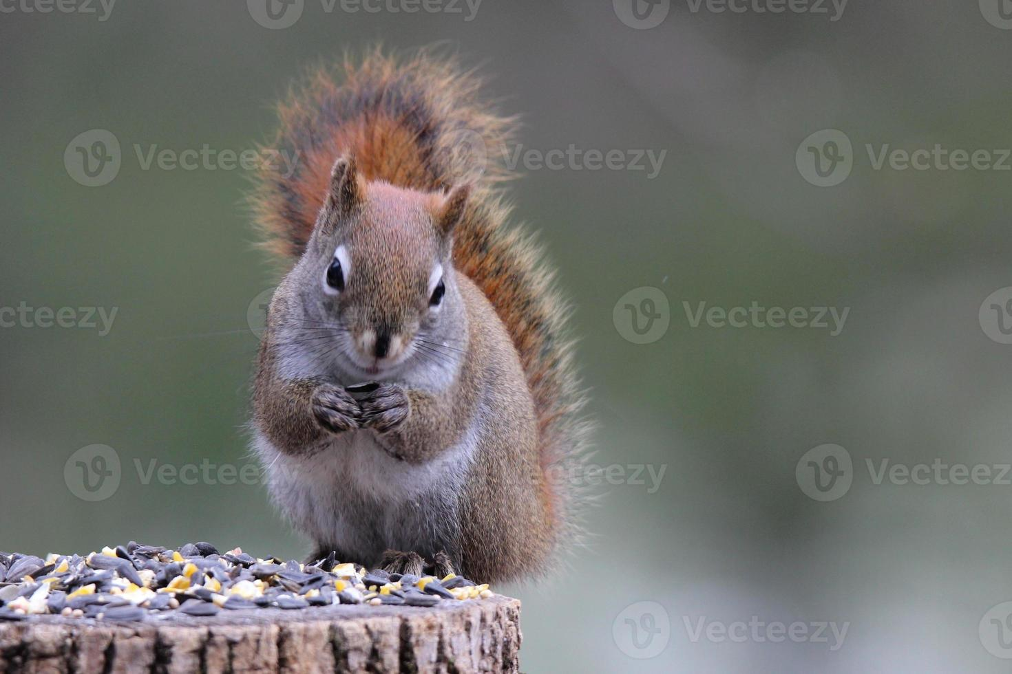 scoiattolo che mangia semi foto