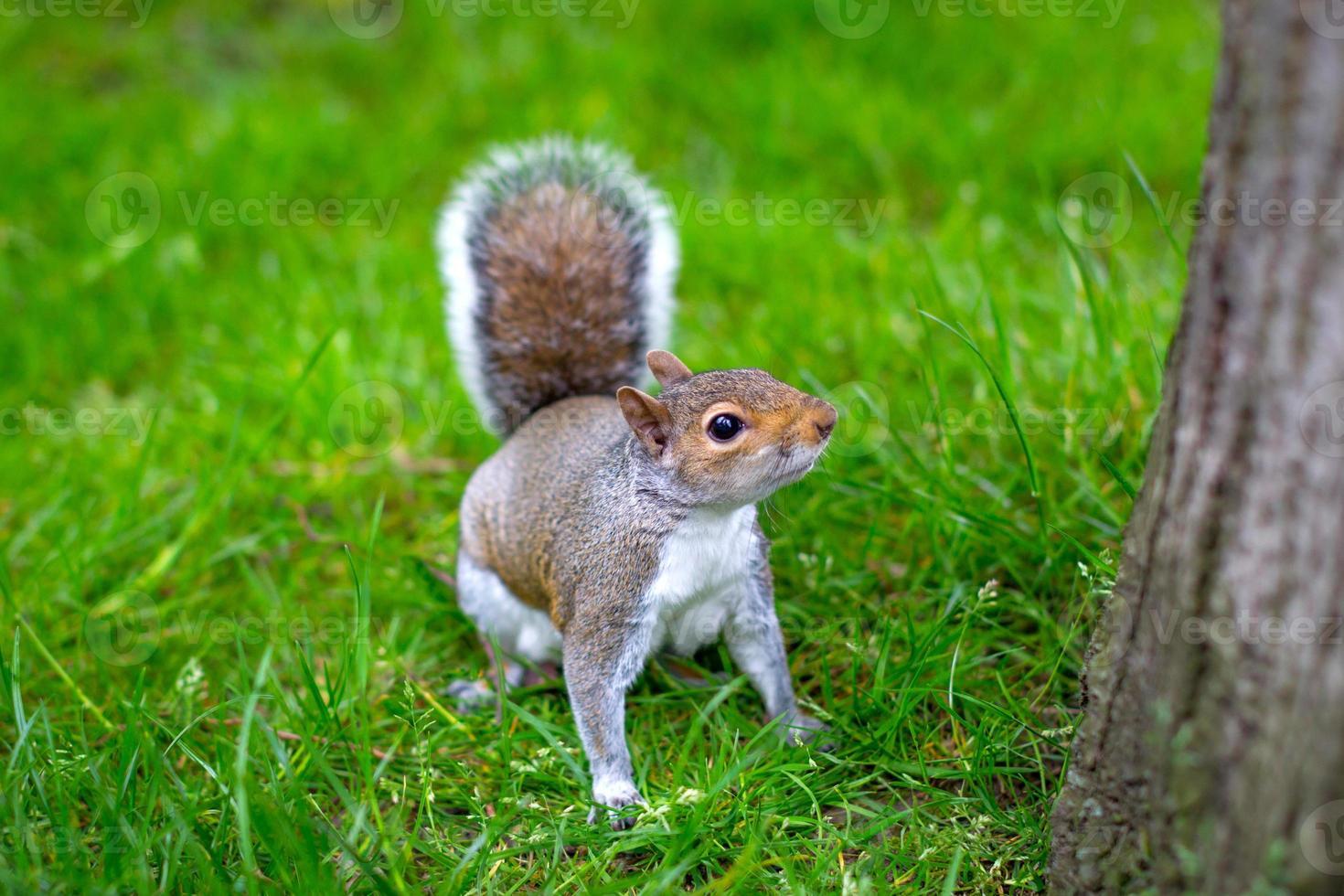 scoiattolo grigio (sciurus carolinensis) - immagine di riserva foto