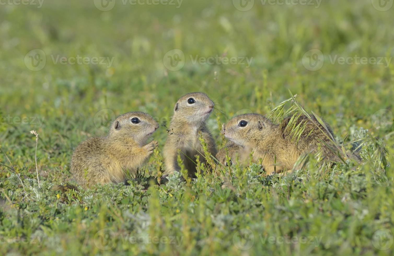 scoiattolo a terra, gopher (spermophilus citellus) foto