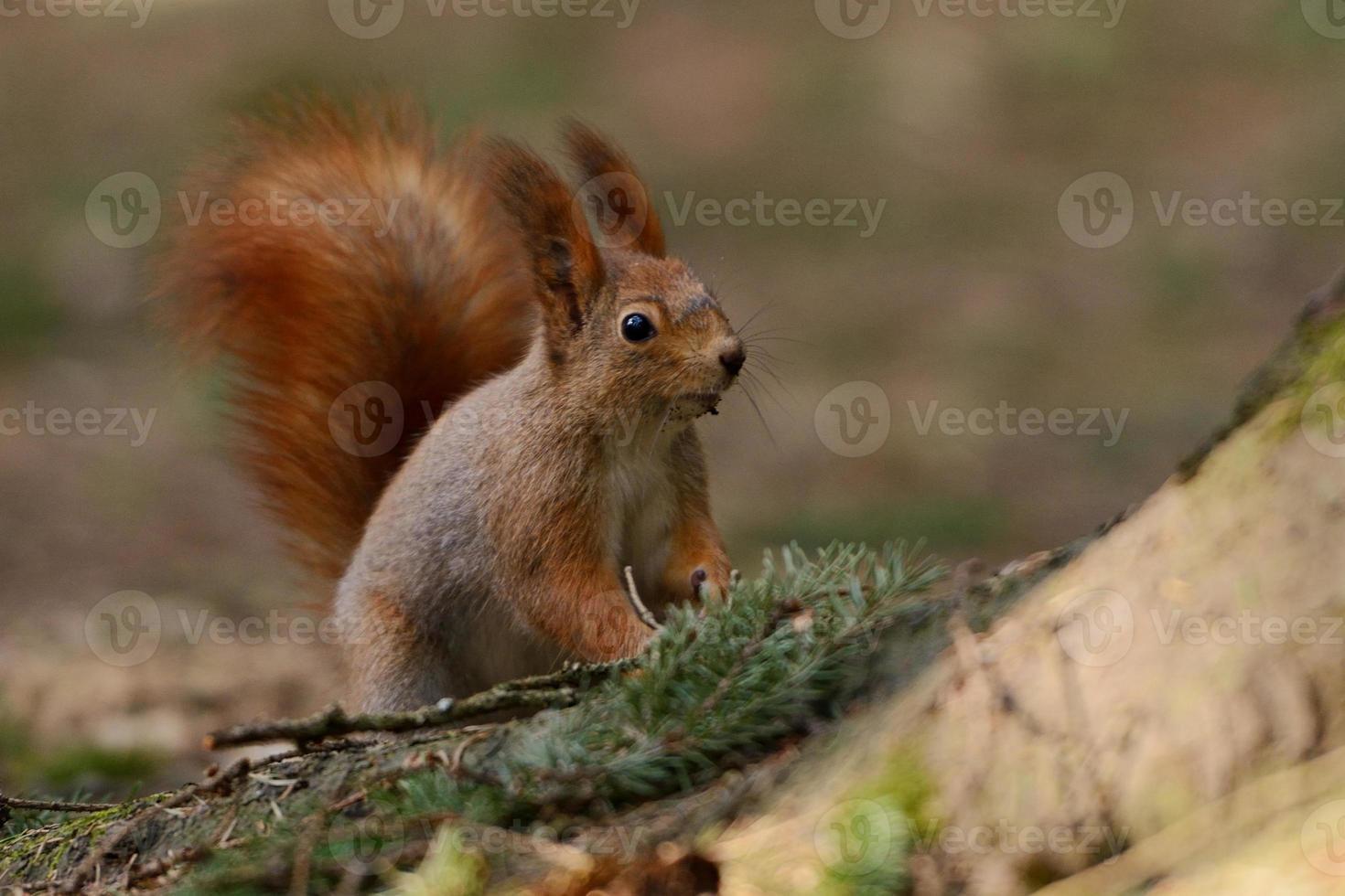 piccolo scoiattolo rosso foto