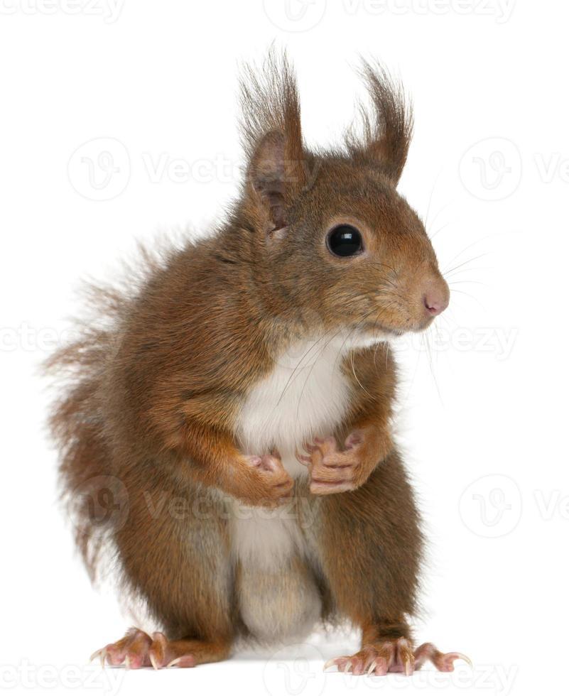 scoiattolo rosso eurasiatico, sciurus vulgaris, quattro anni, sfondo bianco. foto
